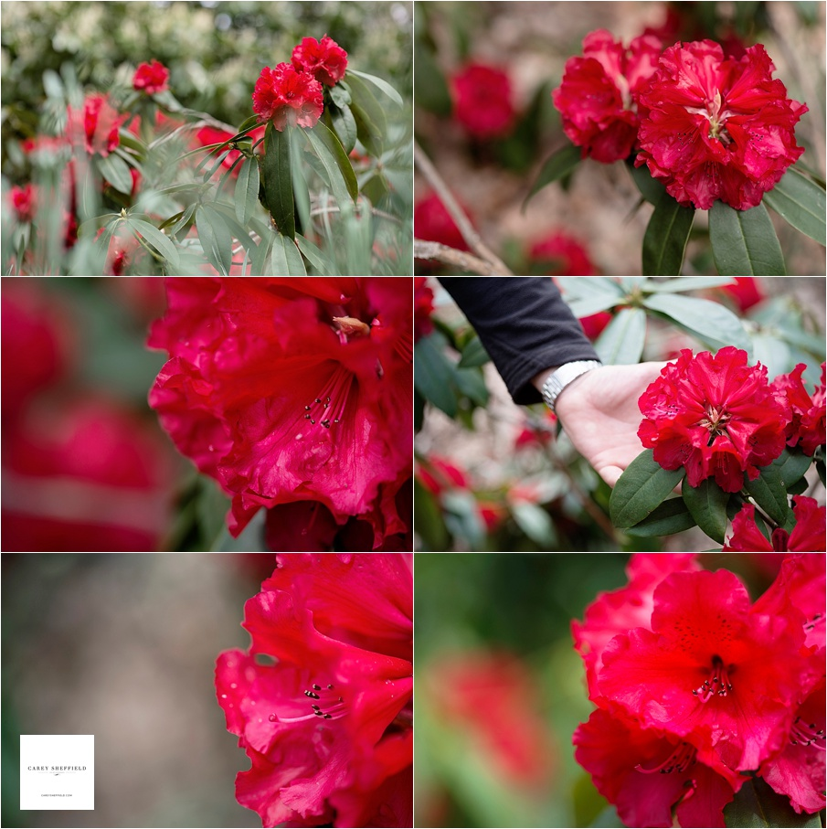 Vulcans Flame - RHODODENDRON